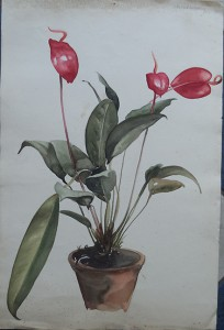 Anthuriums in een pot